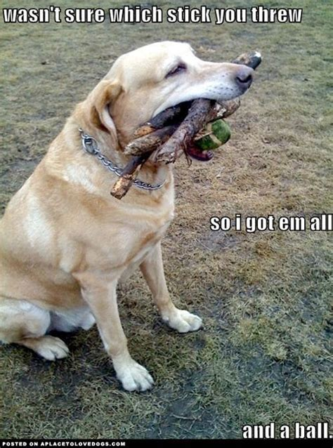 Hilarious 8 Labrador Pups That Make Epic Memes! This Is So