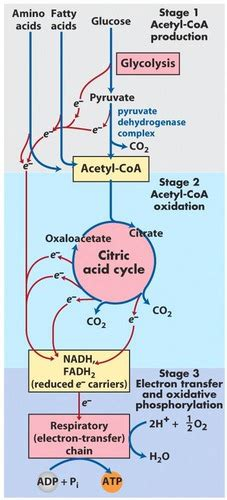 Pyruvate Dehydrogenase Complex and the TCA Cycle